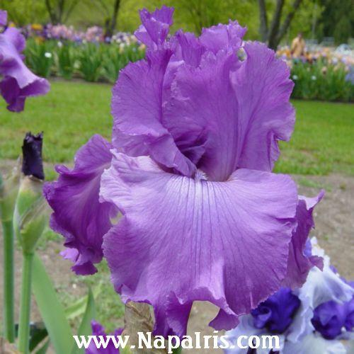 Photo of Tall Bearded Iris (Iris 'Good Looking') uploaded by Calif_Sue