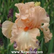 Date: 2009-01-17Photo courtesy of Napa Country Iris Garden