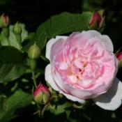 Location: Rosa 'Blush Noisette' in the Rosarium Baden in the Doblhoffpark in Baden bei Wien. Identified by sign.Photo courtesy of: Anna reg
