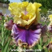 Date: 2009-05-26Photo courtesy of Napa Country Iris Garden