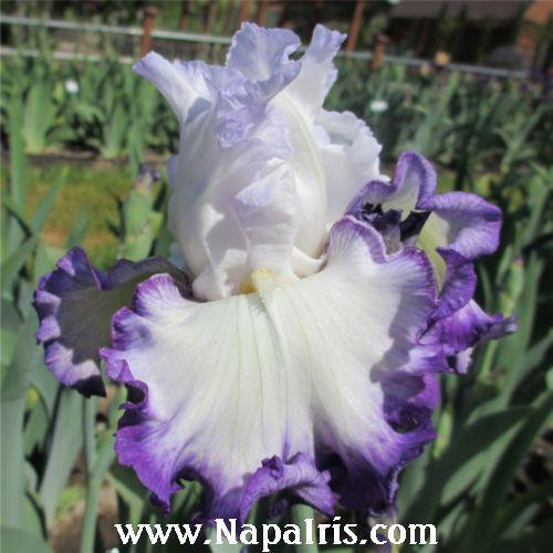 Photo of Tall Bearded Iris (Iris 'Center Ice') uploaded by Calif_Sue