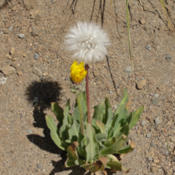 Location: Smooth mountain dandelion (Nothocalais alpestris) on Mount Rainier Sourdough RidgeDate: 2009-09-01Photo courtesy of: Miguel Vieira