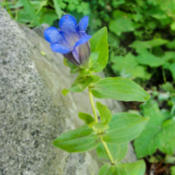 Location: Explorer's gentian (Gentiana calycosa) on Pacific Crest Trail south of Donner PassDate: 2009-08-18Photo courtesy of: Miguel Vieira