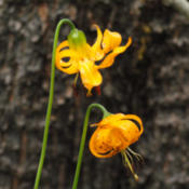 Location: Kelley's tiger lily (Lilium kelleyanum) on Tyee Lakes TrailDate: 2009-07-28Photo courtesy of: Miguel Vieira