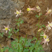 Location: Coville's columbine (Aquilegia pubescens) on Sabrina Basin TrailDate: 2009-07-28Photo courtesy of: Miguel Vieira