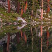 Location: Red fir reflections in Jennie Lake at sunsetDate: 2009-08-25Photo courtesy of: Miguel Vieira