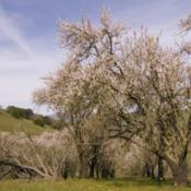 Location: Almond orchard on Clyma Trail in Morgan Territory Regional PreserveDate: 2007-03-21Photo courtesy of: Miguel Vieira