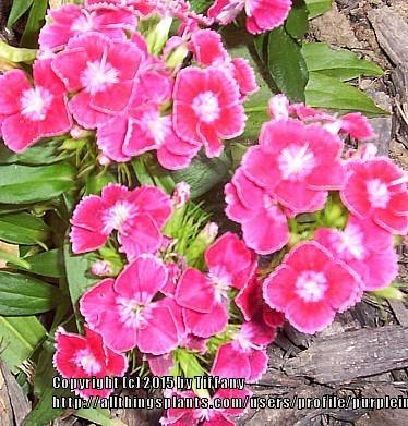 Photo of Dianthus uploaded by purpleinopp