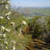 Location: Blooming Ceanothus on Mount Diablo Back Creek TrailDate: 2009-04-15Photo courtesy of: Miguel Vieira