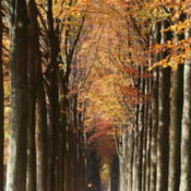 Location: Morlanwelz-Mariemont (Belgium), the European beech walk linking Morlanwelz to MariemontDate: 2007-11-06Photo courtesy of: Jean-Pol GRANDMONT