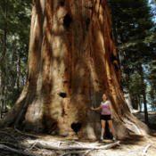 Location: Hiker by a sequoia in the Sugar Bowl in Sequoia National ParkDate: 2007-10-24Photo courtesy of: Miguel Vieira