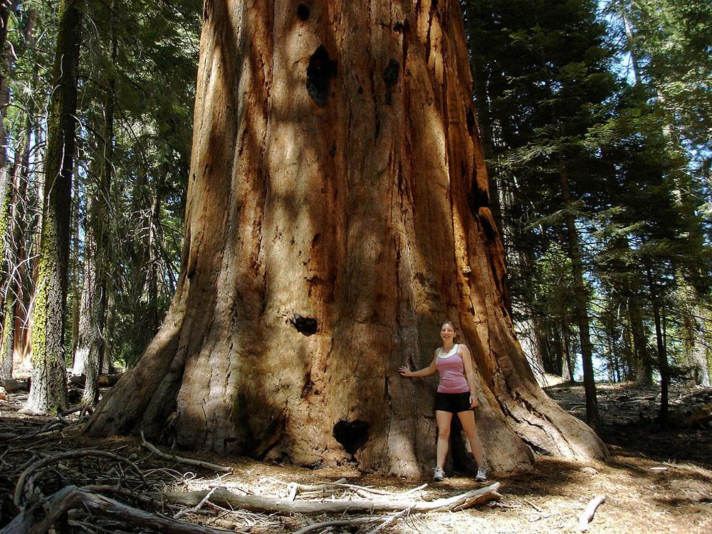 Photo of Giant Sequoia (Sequoiadendron giganteum) uploaded by admin