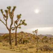 Location: Joshua Trees and setting sun in Joshua Tree National ParkDate: 2009-02-19Photo courtesy of: Miguel Vieira