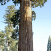 Location: General Grant Tree in Kings Canyon National ParkDate: 2007-10-24Photo courtesy of: Miguel Vieira
