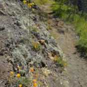 Location: Wester wallflower and poppies on Mount Diablo Bald Ridge TrailPhoto courtesy of: Miguel Vieira