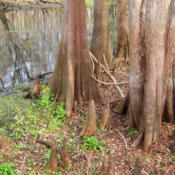 Location: Bald cypress (Taxodium distichum) at Manatee Springs State ParkPhoto courtesy of: Miguel Vieira