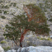 Location: Texas madrone (Arbutus xalapensis) on Guadalupe Mountains National Park Guadalupe Peak TrailDate: 2012-01-25Photo courtesy of: Miguel Vieira