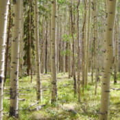 Location: Aspens (Populus tremuloides) on Lost Lake TrailDate: 2012-08-18Photo courtesy of: Miguel Vieira