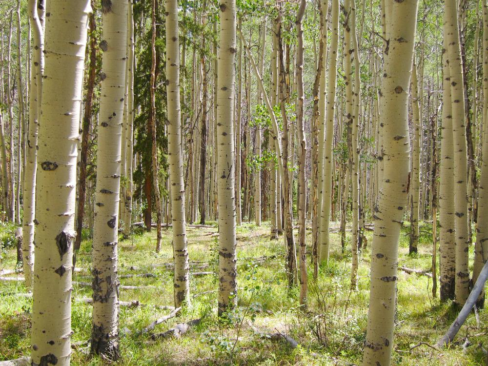 Photo of Quaking Aspen (Populus tremuloides) uploaded by admin