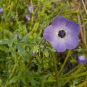 Location: Blue fiesta flower (Pholistoma auritum var. auritum) in Pinnacles National ParkDate: 2009-03-24Photo courtesy of: Miguel Vieira