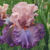 Photo courtesy of Keith Keppel Irises