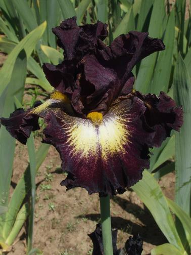 Photo of Tall Bearded Iris (Iris 'Tunnel Vision') uploaded by Calif_Sue