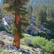 Location: Foxtail pine (Pinus balfouriana) on High Sierra TrailDate: 2011-08-01Photo courtesy of: Miguel Vieira