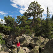 Location: Hiker and limber pine (Pinus flexilis) at Lake Haiyaha in Rocky Mountain National ParkDate: 2011-09-02Photo courtesy of: Miguel Vieira