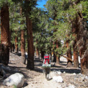Location: Hiker and foxtail pines (Pinus balfouriana) on John Muir Trail - Pacific Crest TrailDate: 2011-08-01Photo courtesy of: Miguel Vieira