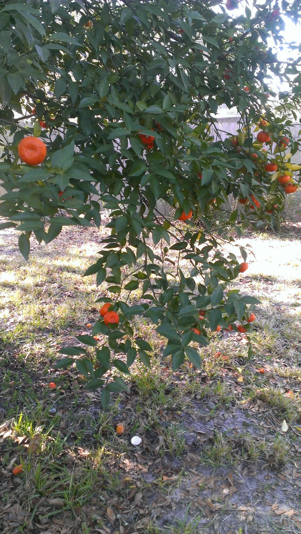 Photo of Tangerine (Citrus reticulata) uploaded by qwilter