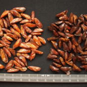 Location: Abies_seeds_left_Abies_magnifica_right_Abies_nordmannianaDate: 2012-03-28Photo courtesy of: Orjen