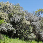 Location: Wedgleaf (Ceanothus cuneatus) and blueblossom ceanothus (Ceanothus thyrsiflorus) on Mount Diablo Meridian Ridge RoadDate: 2010-04-28Photo courtesy of: Miguel Vieira