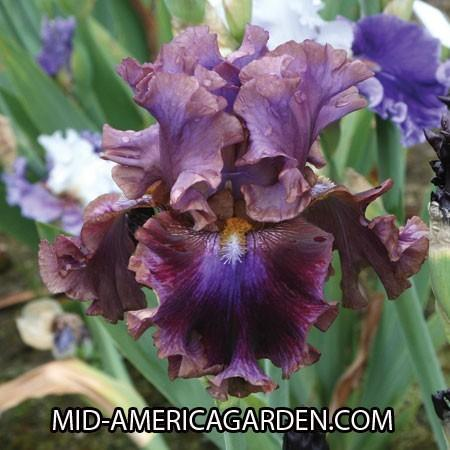 Photo of Tall Bearded Iris (Iris 'Electric Candy') uploaded by Calif_Sue