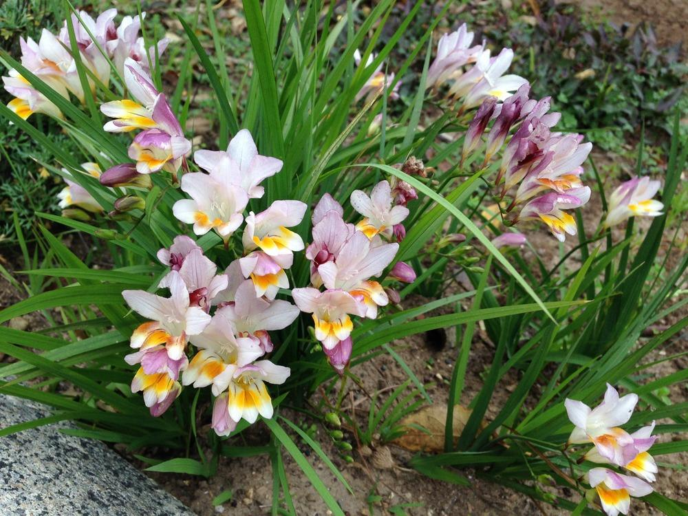 Photo of the entire plant of freesia freesia fucata for Planting a garden