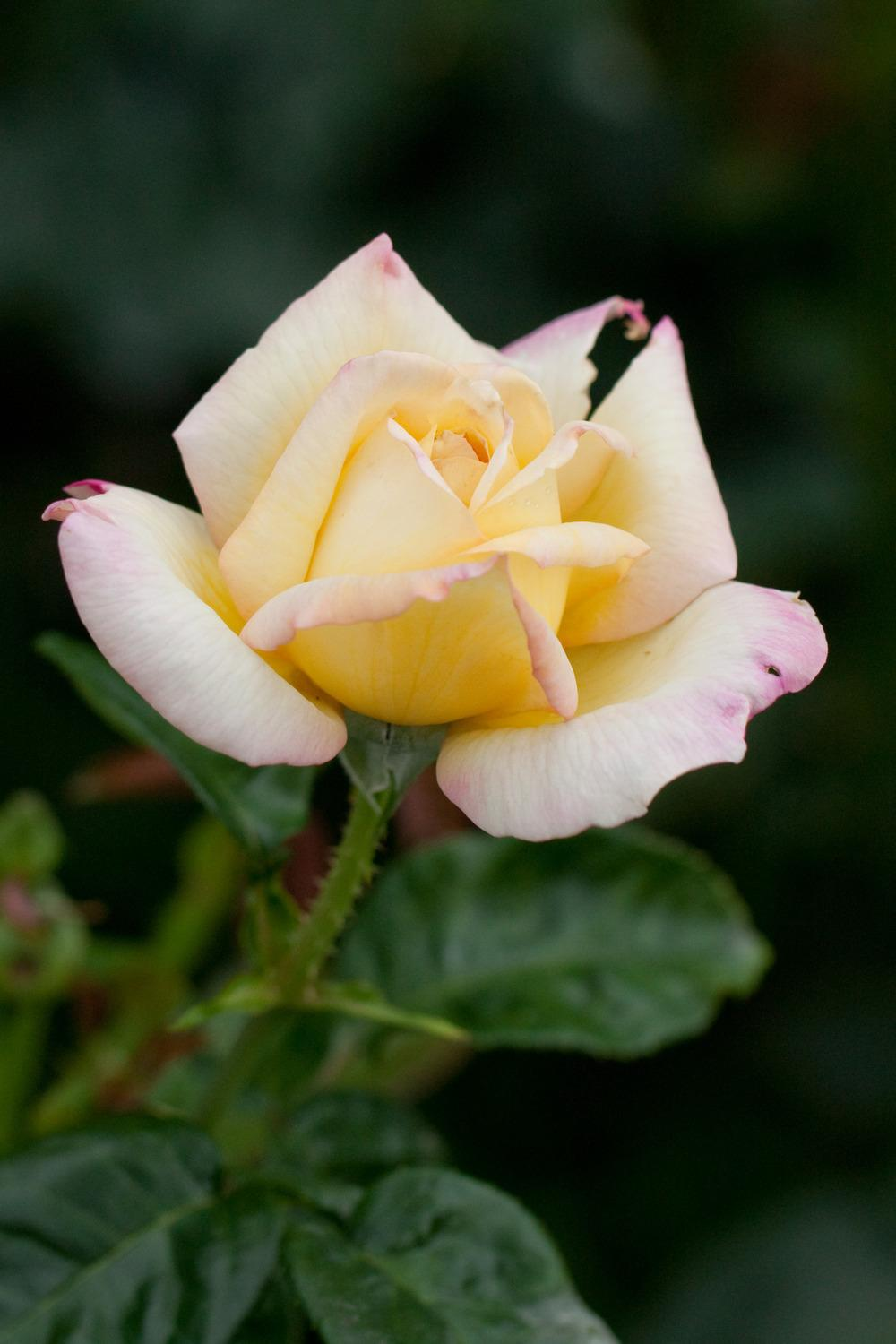 Photo of Rose (Rosa 'Peace') uploaded by admin