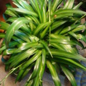 Date: 2015-01-26solid green spider plant that produces variagated babies
