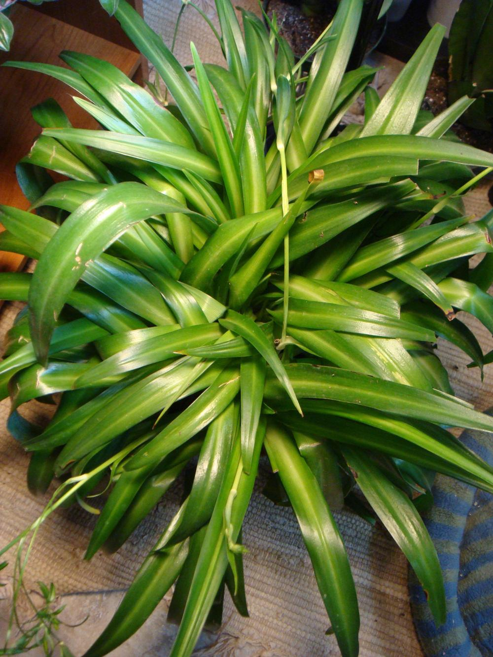 Photo of Spider Plant (Chlorophytum comosum) uploaded by indoorplants