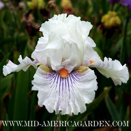 Photo of Tall Bearded Iris (Iris 'Hysteria') uploaded by Calif_Sue