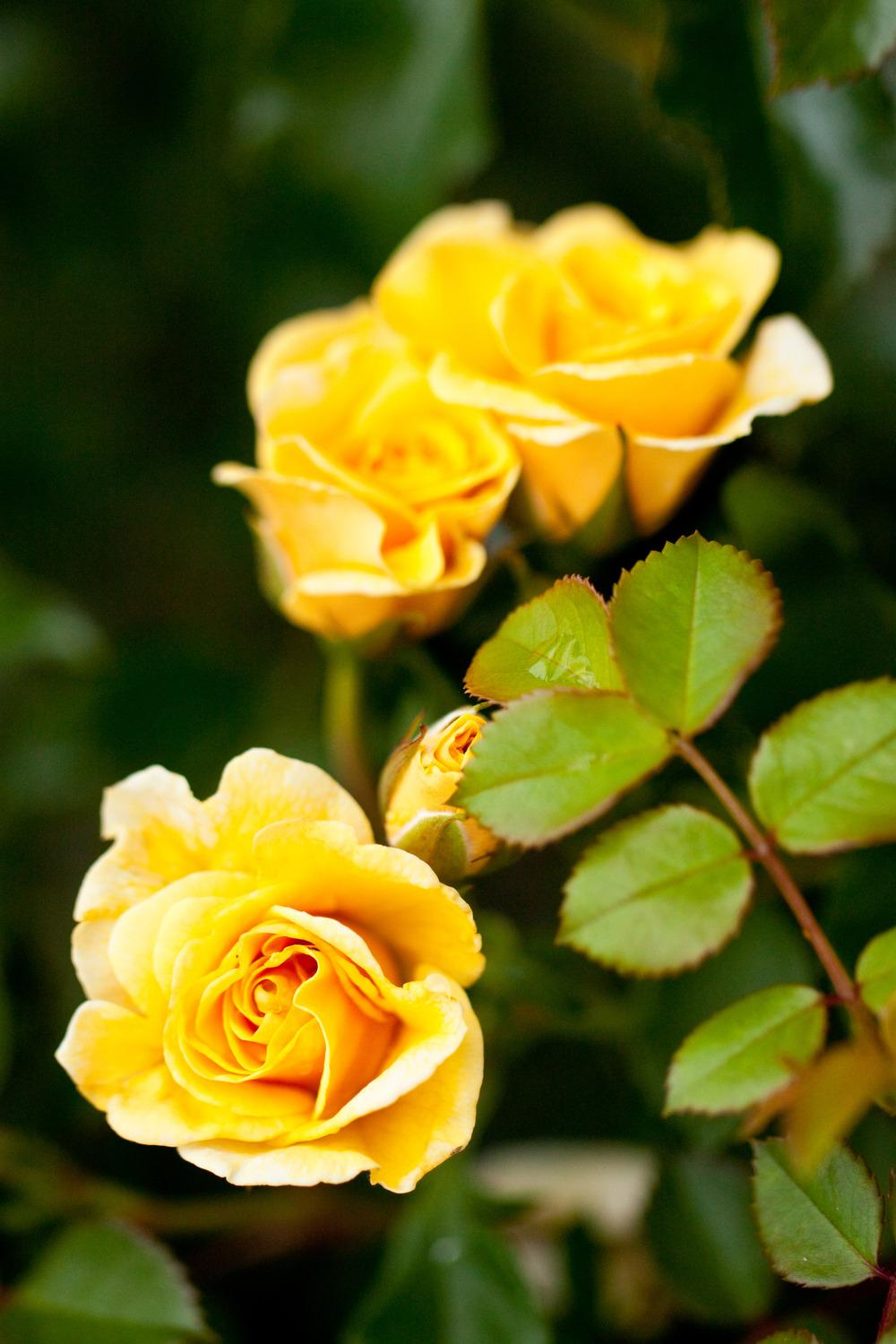 Photo of Roses (Rosa) uploaded by admin