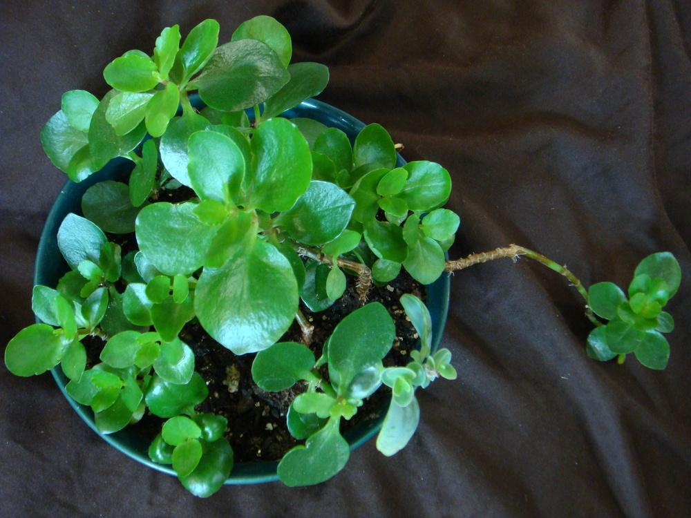 Photo of Kalanchoes (Kalanchoe) uploaded by indoorplants