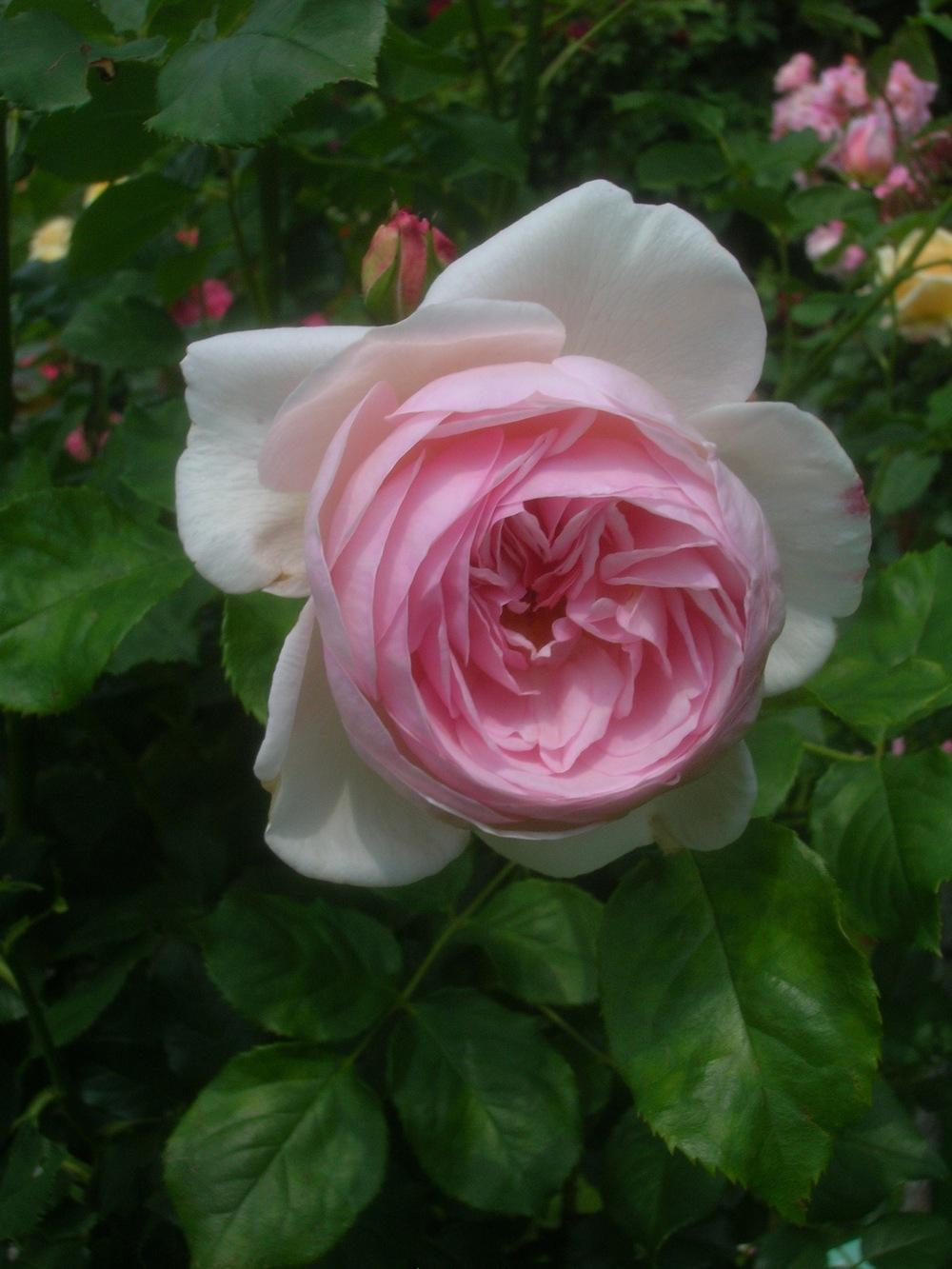 Photo of Rose (Rosa 'Heritage') uploaded by admin