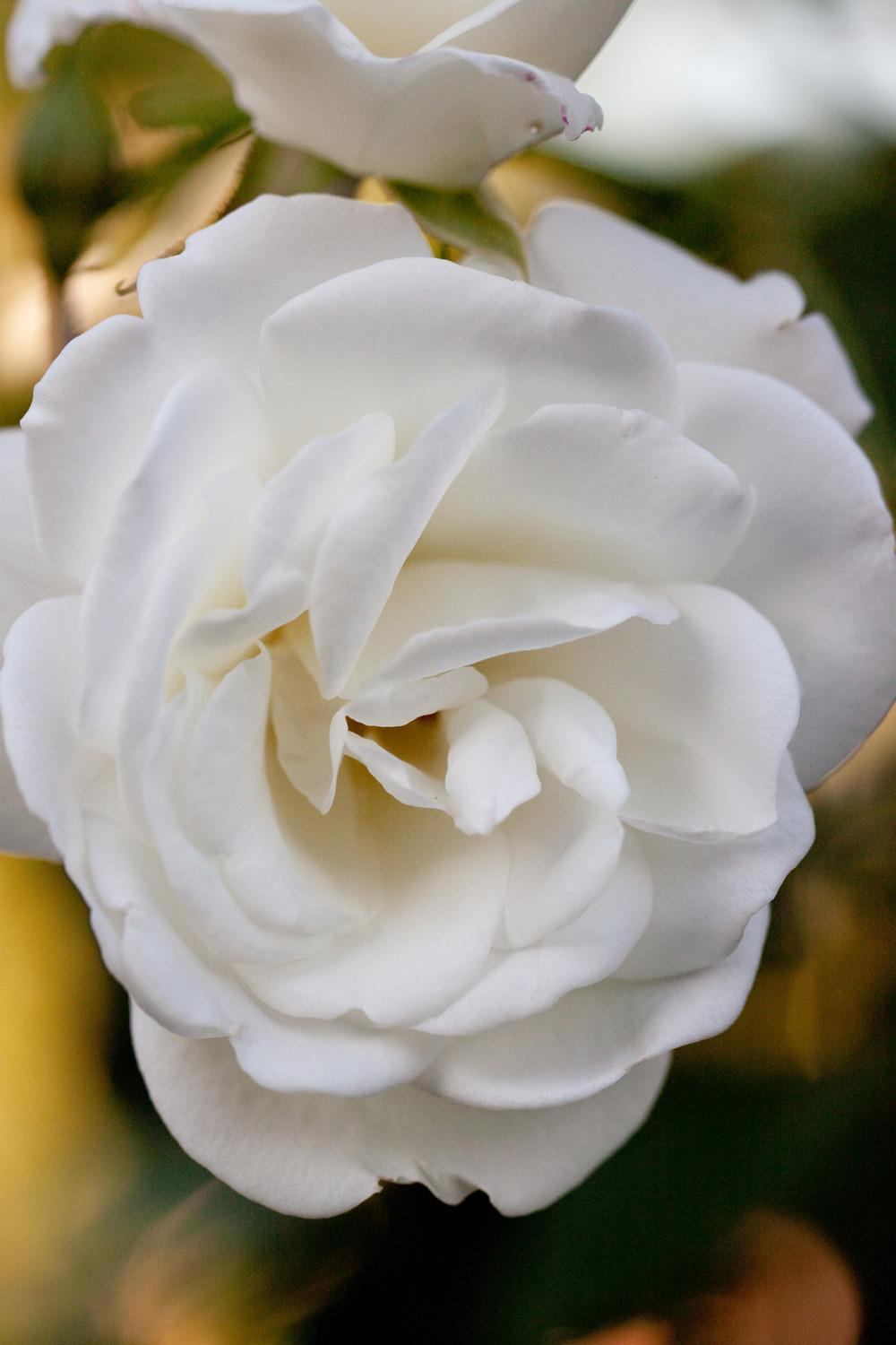 Photo of Rose (Rosa 'Iceberg, Cl.') uploaded by admin