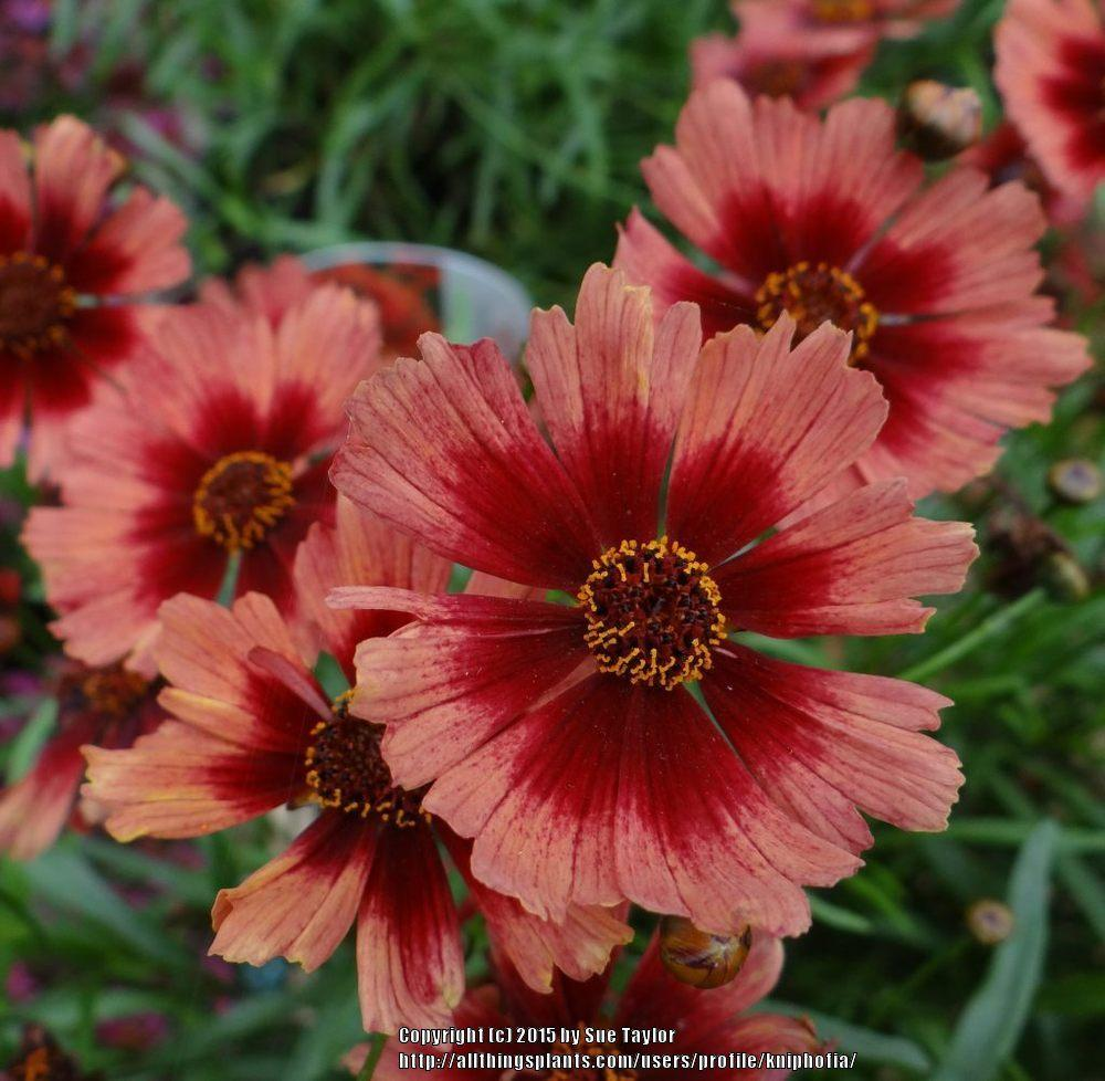 Photo of Hybrid Tickseed (Coreopsis Hardy Jewel™ Desert Coral) uploaded by kniphofia