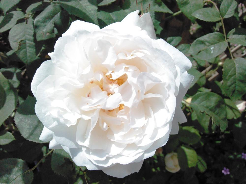 Photo of Rose (Rosa 'Winchester Cathedral') uploaded by admin