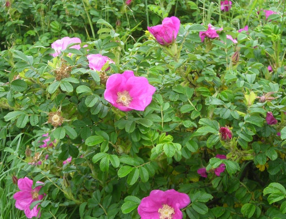 Photo of Beach Rose (Rosa rugosa) uploaded by admin