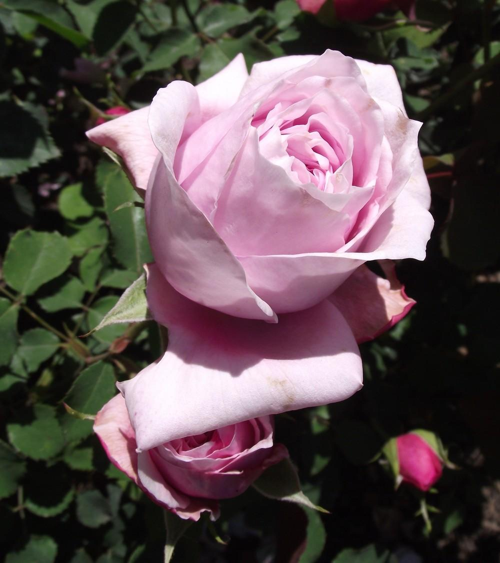 rosa bud essay This is the sixth in a series of papers where we bring collaborating mycologists has been shown to increase percentage bud burst of axillary shoots of rosa.