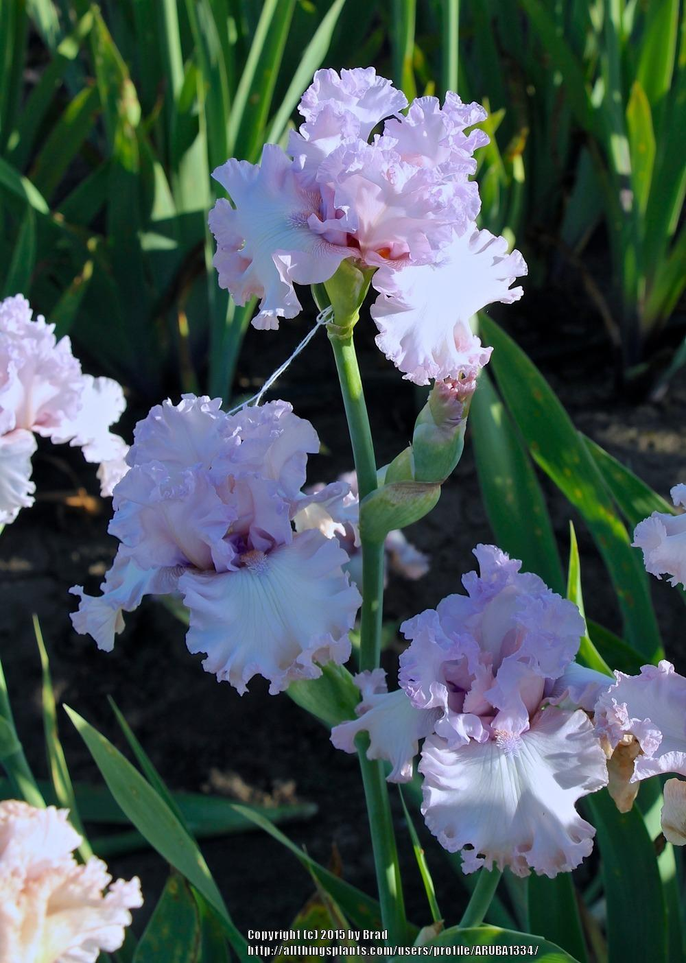 Photo Of The Bloom Of Tall Bearded Iris Iris Poem Of Love Posted