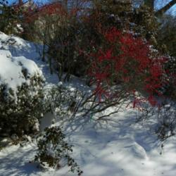 Brightly Colored Berries for Winter Beauty and Attracting Songbirds.