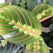 Location: Lowe'sDate: 2015-01-28Really like the red veining on this plant againts the greens.