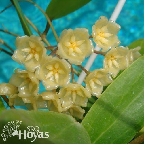 Photo of Wax Plant (Hoya blashernaezii) uploaded by SRQHoyas